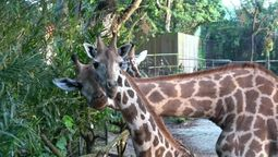 New 'tallest' kids on the block at the Singapore Zoo