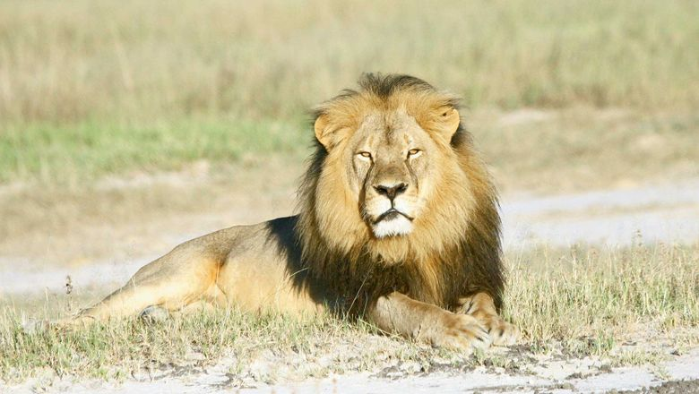 Cecil the lion was killed by an American hunter in Zimbabwe, sparking outrage on social media and in the press.