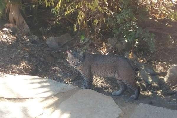 The local bobcat.