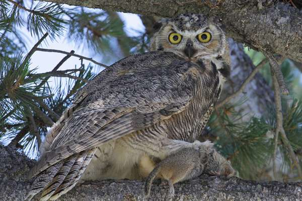 Great horned owls live in the neighborhood.